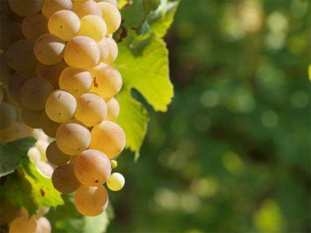 Виноградкики Крыма