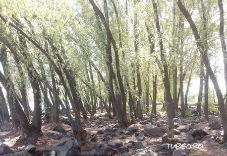 Лес оптом